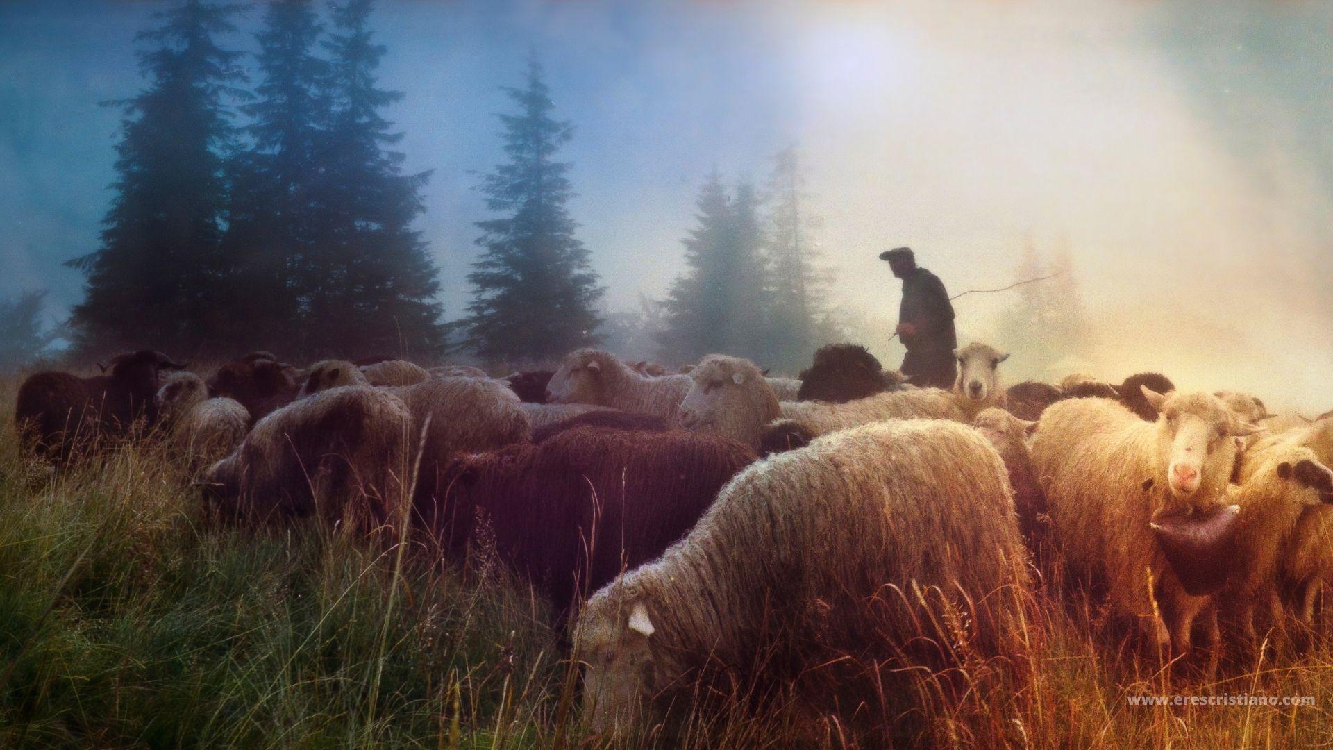 el buen pastor, ovejas